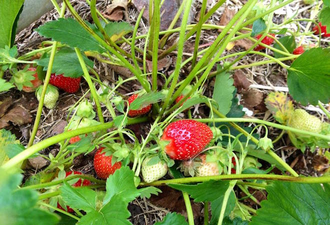 Fresas en Connecticut