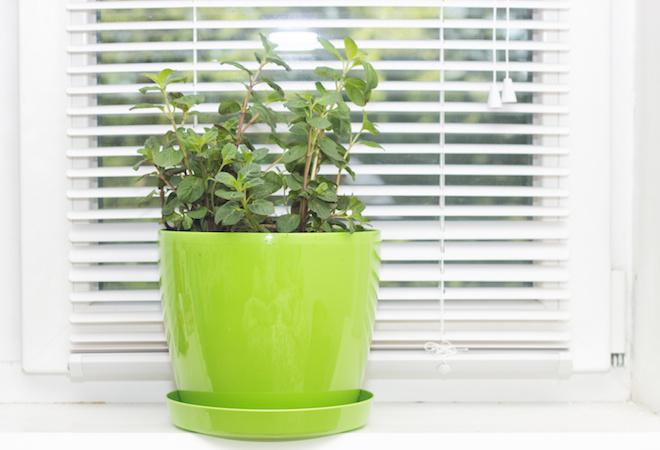 Plantas para espantar mosquitos