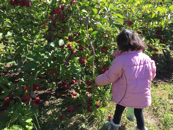 Recoger manzanas connecticut